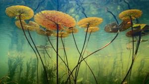 lotus-underwater-scenery-wallpaper_1357537236